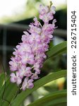 Pink Hybrid Vanda Orchid Flower