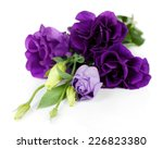 Beautiful Violet Eustoma...