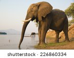 Two African Elephant Bulls...