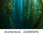 Giant kelp grows in a thick underwater forest near the Channel Islands in California. Kelp provides an important habitat for many fish and invertebrates and can grow quickly in the right conditions.