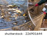 Autumn Harvest Of Carps From...