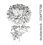 Hand Drawn Chrysanthemum ...