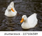 Two White Ducks Swimming In The ...