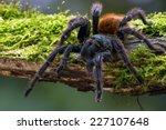 Greenbottle Blue Tarantula On...