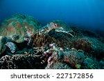 Hawksbill Turtle Swimming...