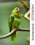 Small photo of Close up of Red-lored Parrots (Amazona autumnalis), selective focus.
