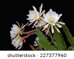 Epiphyllum Flowers Isolated On...