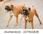 Two Boxer Dogs Playing Outside