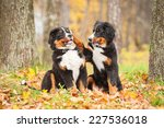 Stock photo two bernese mountain puppies playing in the park in autumn 227536018