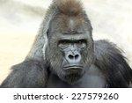 bust portrait of a gorilla male ... | Shutterstock . vector #227579260