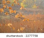 A Fall colored maple tree branch with a meadow in the background. - stock photo