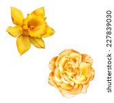Yellow Rose Flower Isolated On...