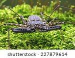 Small photo of Whip Scorpion walking toward viewer through thick moss/Whip Scorpion/Whip Scorpion (amblypygi)