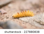 Sycamore Yellow Caterpillar ...