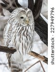 Ural Owl Sits On A Tree In...