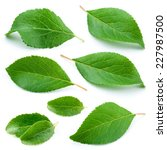Plum Leaves Isolated On White...