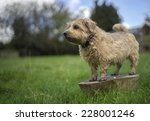 Norfolk Terrier On Trunk