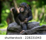 Young Common Chimpanzee Sittin...