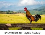 rooster crowing on the wooden... | Shutterstock . vector #228376339