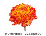 Red Yellow Chrysanthemum On...