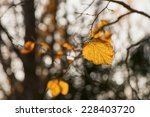 One orange hazel leaf during autumn, Sweden - stock photo