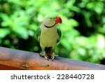 Small photo of Alexandrine parrot, India