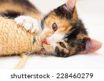 Stock photo two months old multicolored calico kitten playing with a toy 228460279