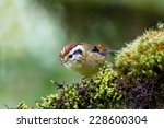 Small photo of Rufous winged Fulvetta (Alcippe castaneceps ) in habitat Doi Inthanon Chiangmai ,Thailand