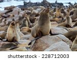 huge colonies brown fur seal ... | Shutterstock . vector #228712003
