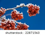 Winter Rowan Covered By The...