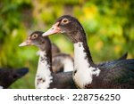 Young Muscovy Duck Or Cairina...