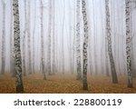 Deeply Mist In Autumn Birch...