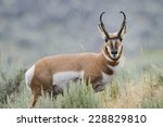 Pronghorn In The Rain  Lamar...