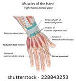 Muscles Of Hand  Dorsal View ...