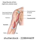 deep muscle of the arm  labeled. | Shutterstock . vector #228844609