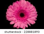 Pink Gerbera Daisies With Black ...