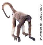 White Bellied Spider Monkey....