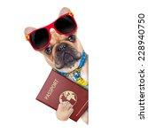 Fawn Bulldog With Passport...