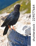 Small photo of Alpine chough (Pyrrhocorax graculus) sitting on the mountaineers hiking boot