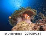 Clown Anemonefish And Anemone...