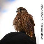 falcon | Shutterstock . vector #229210930
