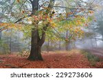old beech colorful tree in misty autumn forest - stock photo