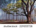 Big Beech Tree In Autumn Foggy...