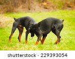 two doberman pinscher dog | Shutterstock . vector #229393054
