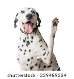 A Funny And Cheerful Dalmatian...