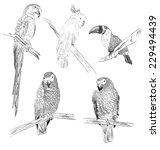 Vector Sketch Of A Parrots....