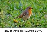 european robin  redbreast... | Shutterstock . vector #229551070