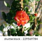Stock photo rose in the garden 229569784