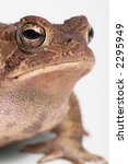 Small photo of American toad close up.