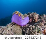 Purple Anemone And Anemone Fis...